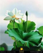 Tranh Sơn Dầu Hoa Sen Trắng